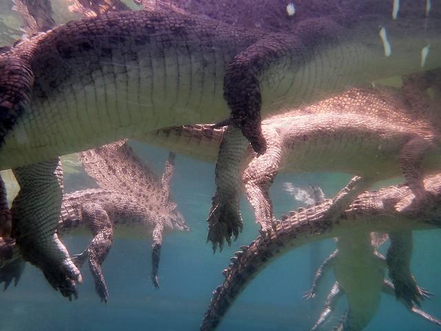 Crocosaurus Cove Darwin - Taking Underwater Crocodile Photos
