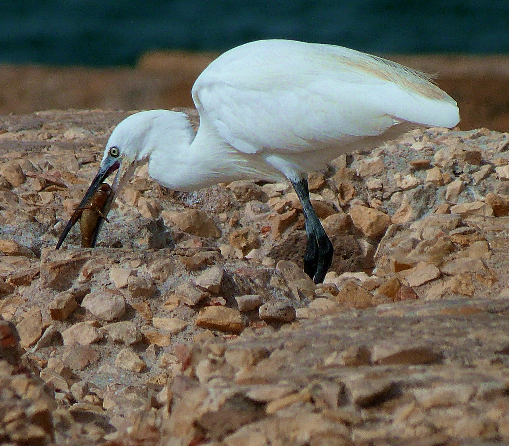 21-10-2011-egret-eating-fish