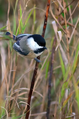 Chickadee DSC_5158 by Mully410 * Images
