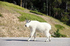 Mountain Goat Icefields Parkway IMG_2570