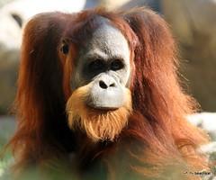Bernas, born 2002 (beachkat1) Tags: zooatl junior bernas zooatlanta orangutan 2011