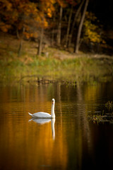 Swan On Golden Pond (howardignatius) Tags: trees newyork swan pond fallcolors battlefield stonypoint