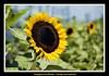 Singapura Sunflower (Top End Shooter) Tags: singapore sunflower singaporeairport nikon2870mm d2xs changiairportsunflowergarden nikon2870mmf35~45