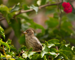 Sitting Pretty in Bougainvillea (Patricia Ware) Tags: california canon backyard flash tripod ngc manhattanbeach housesparrow passerdomesticus explored allrightsreserved specanimal blinkagain patriciaware