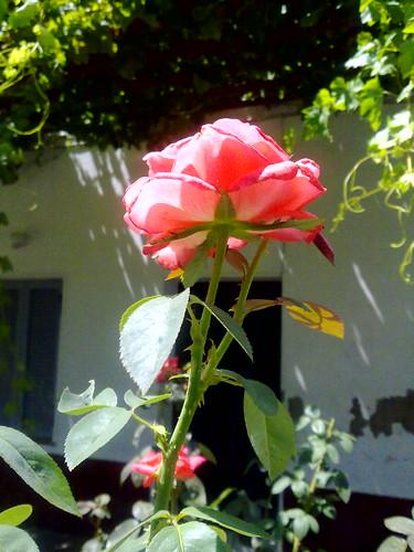 sunshine rose ... εκρυψα κατω απο το μαξιλάρι... by dimitra_milaiou