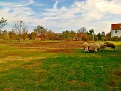Innocence. (m.šitake) Tags: clouds village sheep phonecamera vojvodina srbija