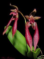 Bulbophyllum Meen Mercury Sandal (PiotrM) Tags: bulbophyllum meen mercury sandal orchid flower