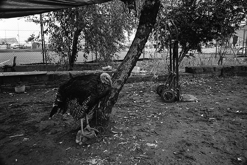 Turkey cock / Индюк