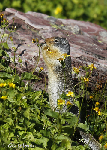 Columbian ground squirrel  (Urocitellus columbianus), eating flowers, Glacier National Park (2)