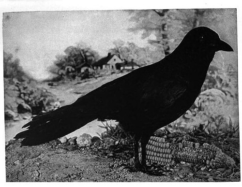 Crow from Nature Neighbors - Audubon Magazine 1914