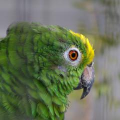 (Jaan Keinaste) Tags: bird portugal pentax madeira lind k7 papagoi pentaxk7