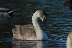 Young Mute Swan (aaron_eos_photography) Tags: park november autumn lake nature canon geese swan gull sigma goose swans birdsinflight 170500mm tuesdaypark