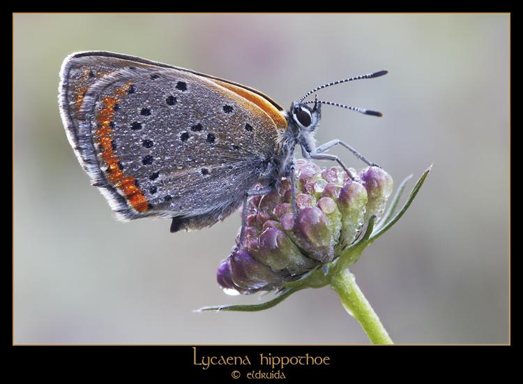 Lycaena hippothoe