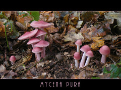 Mycena pura (Loe Giesen) Tags: swalmdal mycenapura elmpterschwalmbruch elmpterbruch