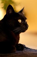 Jack Black (Magon_photo) Tags: pet cats black jack kitty gatos greatphotographers bestofcats