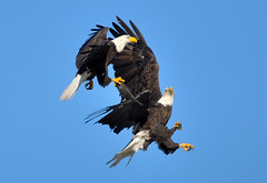 "Bald Eagles At Conowingo Dam, MD.  Explored 11/7/11        Haliaeetus leucocephalus (Christine Fusco ~ ""Jersey Strong"") Tags: blue nature flight baldeagle maryland american challenge conowingo conowingodam avianexcellence flickrstruereflection1 flickrstruereflection2 flickrstruereflection3 flickrstruereflection4"