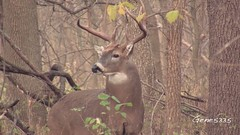 Iowa White-tail Deer - Rut 2011 (gene5335) Tags: park camera white nature video big midwest wildlife tail central doe iowa deer ten buck bucks whitetail desmoines rut odocoileusvirginianus 2011 10point