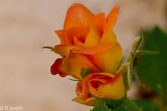 Rose (sns85225) Tags: arizona orange flower rose