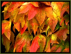 Then...we all fall down! (Marcia Portess) Tags: ivy autumnleaves explore thesylviahotel vancouverbccanada redyellowgreenorange marciaportess colouredivy thenweallfalldown