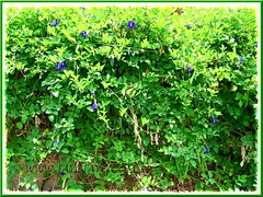 Luxuriant Clitoria ternatea vine, draped over a fence