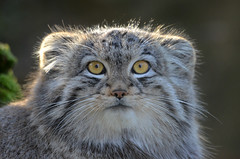 Pallas's cat or Manul (mellting) Tags: animal zoo nikon sweden wildcat eskilstuna parkenzoo pallasscat felismanul otocolobusmanul sigma70300456 bloggad nikond7000 manulcat mygearandme mygearandmepremium mygearandmebronze mellting matsellting