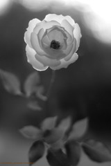 WITH LOVE (michaeljohnsimages) Tags: camera ireland light shadow white inspiration black flower art love nature beautiful beauty rose canon mono photo interesting kiss flickr pretty bokeh passion fade shimmer monocrome flickrduel blinkagain