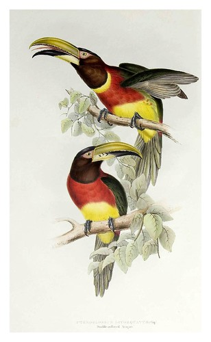 002- Araçari de doble collar-A monograph of the Ramphastidae or family of Toucans-1834- John Gould