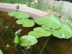 Oasis02 (Ken Mat) Tags: green nature animal garden waterlily pot lilypad wateringplace japanesetreefrog