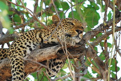 Relaxing again (DSLEWIS) Tags: africa cat nikon leopard zambia carnivore bigfive southluangwa luangwa 80400mmvr d80 nikond80