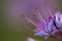 Purple Antennae [Explore - Front Page] (mclcbooks) Tags: flowers flower macro closeup colorado purple wildflower cleome rockymountainarsenal