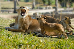 Lioness & cubs at Wild Animal Park in Escondido-73 2-12-08