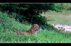 Leopard on Green (Sara-D) Tags: nature animals fauna cat asia wildlife sl sri lanka leopard species srilanka ceylon endangered lk mammals bigcats deva yala wildanimals southasia endangeredspecies sarad panthera pantherapardus pardus saranga pantheraparduskotiya kotiya sarangadevadealwis lankaleopard sarangadeva