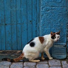 Un gato de Essaouira (osolev) Tags: africa cat square chat morocco gato maroc marruecos sq essaouira cuadrada ltytrx5 ltytr1 esauira osolev