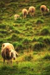 La Pastorale - Sheeeeeeep (Strlicfurln) Tags: nature animals flickr sheep explore pecora flickrexplore