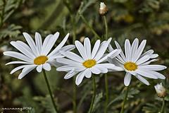 Flores CXVIII (sairacaz) Tags: white flower macro blanco colors canon flor colores tamron 90mm margaritas tamron90mm eos550d