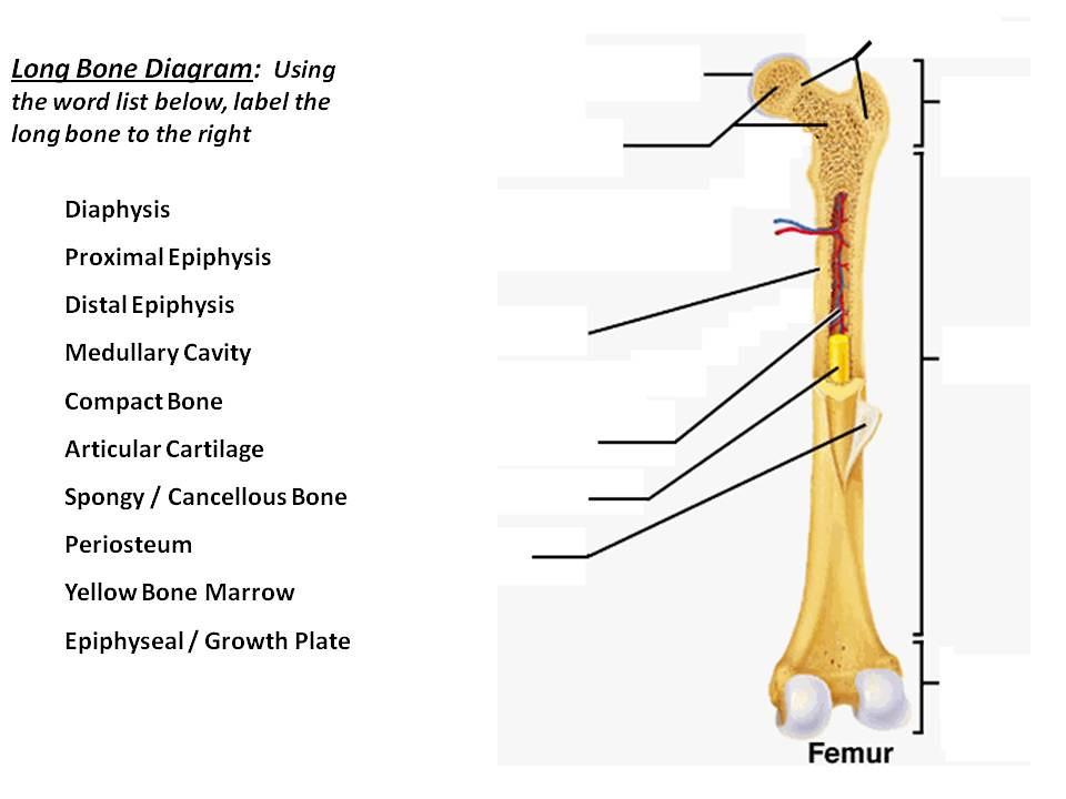 ead diagram to label unit 3 part 1 long bone diagram #5