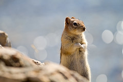 Hi!!.........how are ya?! ('Carmen') Tags: rodent bokeh alberta banff goldenmantledgroundsquirrel