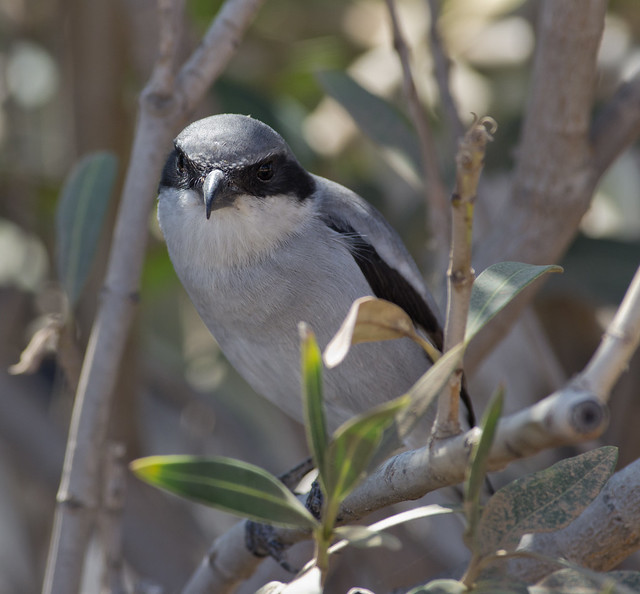 Southern grey shrike 6