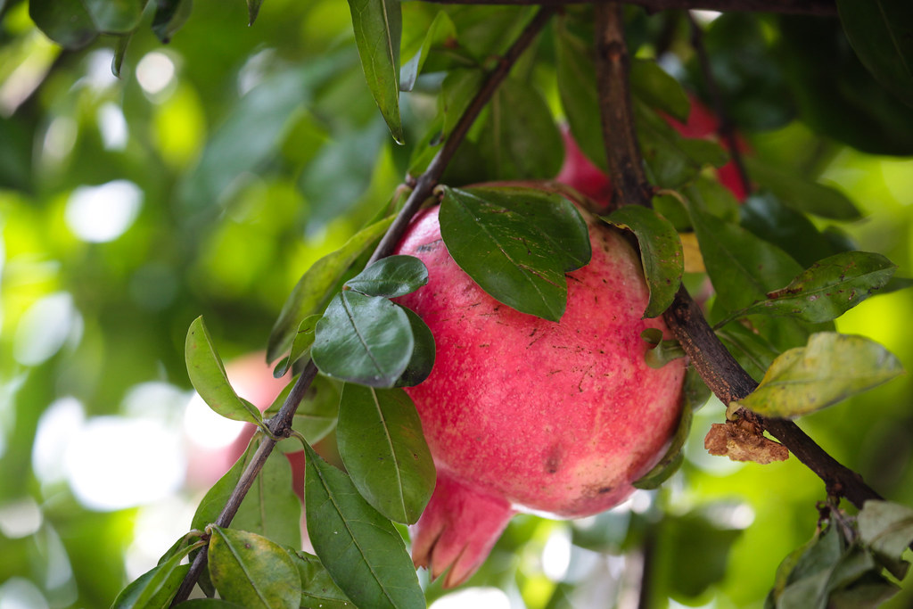 Pomegranate in Kobe