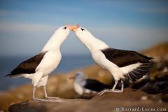 Courting Albatross (Will Burrard-Lucas   Wildlife) Tags: birds falklands falklandislands albatross courtship
