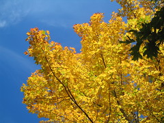 That Golden Glow (catchesthelight) Tags: blue autumn trees light sky orange plants fall colors beauty leaves yellow flora nh fallfoliage colourful itsmulticolored fallfoliagephotography
