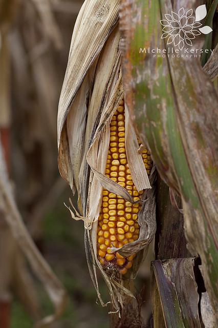 gallrein corn maze