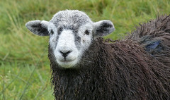 Spectacled sheep (TruffleBunny) Tags: nature animal sheep wildlife cumbria wrynosepass