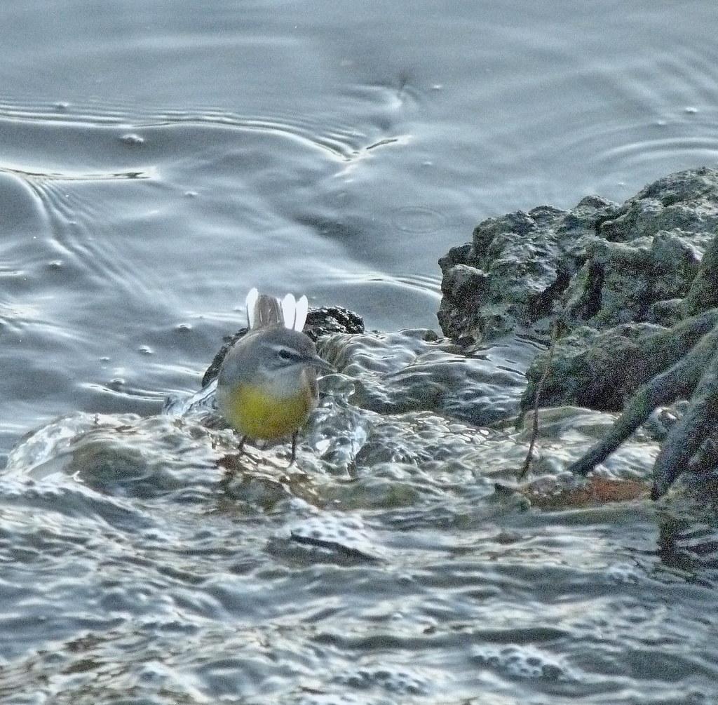 15-10-2011-yellow-wagtail