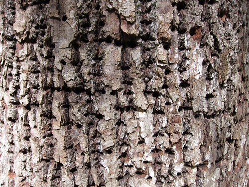 Yellow-bellied sapsucker holes in basswood tree