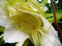 Buah Naga (bunga)