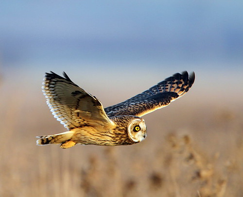 Short eared owl by Dean Eades - BirdMad