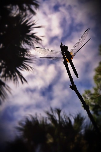 121/365- Dragonfly by elineart