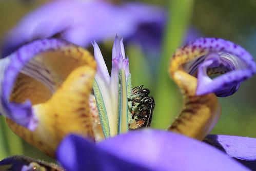 A abelha desempenhando seu papel no milagre da multiplicação das flores