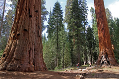 Big Trees Trail / Sequoia National Park (Mampfred) Tags: park usa tree america general alt natur canyon trail kings national amerika sequoia baum wandern sherman gros kalifornien wanderung stamm mammutbaum touristen hoch riesig nordamerika hchster